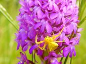 stock photo of yellow orchid  - Yellow Crab Spider  - JPG