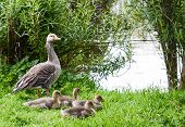 picture of born  - a goose watching over her new borns - JPG