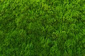 stock photo of conifers  - Evergreen conifer abstract background - JPG