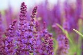 stock photo of purple sage  - Sage flowers - JPG