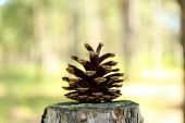 picture of pine cone  - Pine cone on stump in forest - JPG