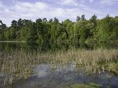picture of bulrushes  - Bulrushes growing at springs at Marl Lake Whispering Pines park - JPG