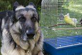 pic of bird-dog  - Big shepherd dog posing near a bird case with a small yellow parrot  - JPG