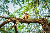 foto of mating  - Monkey mating on the tree in India - JPG