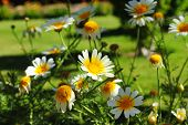 foto of daisy flower  - White daisy flowers - JPG