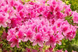 stock photo of azalea  - Many flowers of Rhododendron (Azalea) after rain. ** Note: Shallow depth of field - JPG