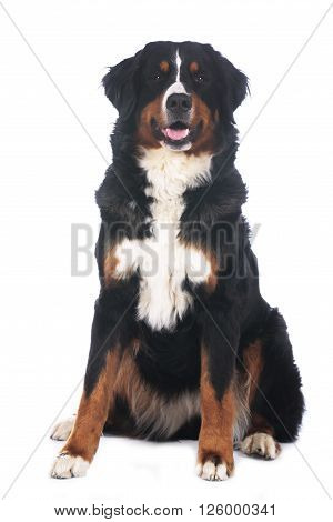 Bernese mountain dog isolated on white sitting from the front