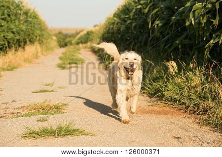 Golden Retriever On Gravel Road In Corn Fields