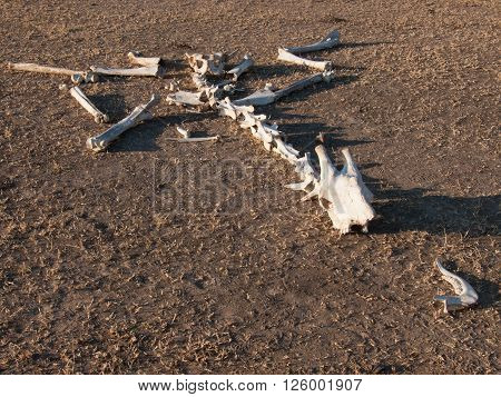 Skeleton Of Giraffe On Ground