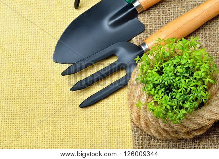 Cress sprouts with gardening tools on wooden table.
