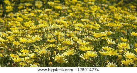 Floral Background Of Marguerite