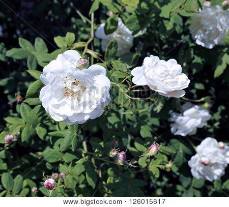 White clambering rose flower in the garden