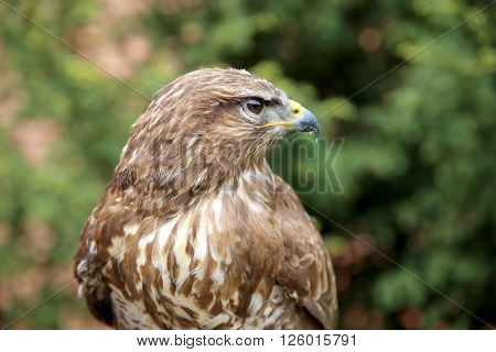 Head Shot Of An Buzzard With Blurred Green Natural Background