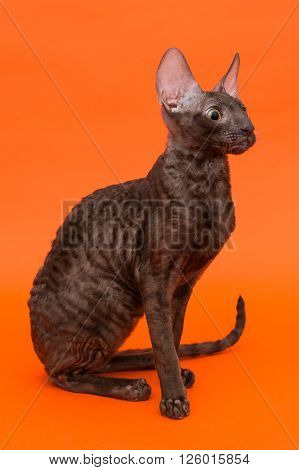 Cat Cornish Rex on a bright orange background
