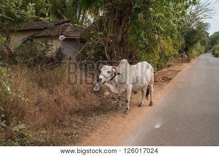 White buffalo on the road in Goa, India