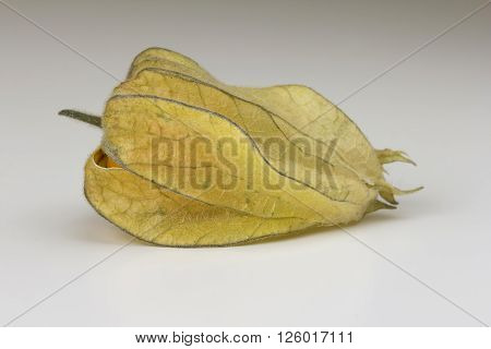 One ripe Physalis fruit enclosed in its calyx against a bright background