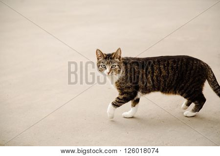 Beautiful proud cat walking in the street and looking at camera on grey background, copy space
