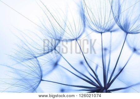 Close-up Beautiful Blue Dandelion shoot by macro lens