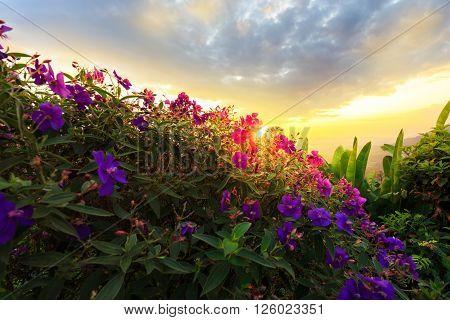 Purple princess flower Glory flower Tibouchina Urvilleana. Hawaii Maui in sunset
