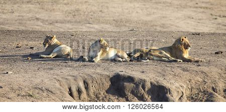 Lion pride resting together and interact in nature