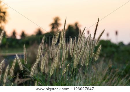 Grass Flower Beside Railroad In Sunset