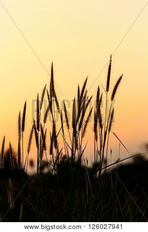 Bright Golden Grass Flower Beside Railroad In Sunset