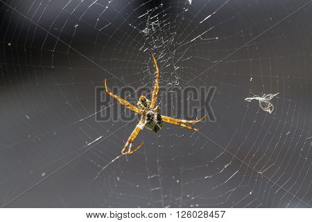 Yellow-black Spider Eating An Insect