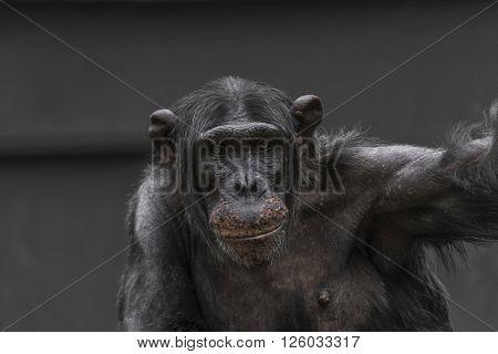 Thinking chimpanzee portrait close up zoom 2016