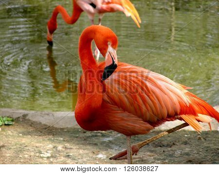 few beautiful pink flamingo standing in pond