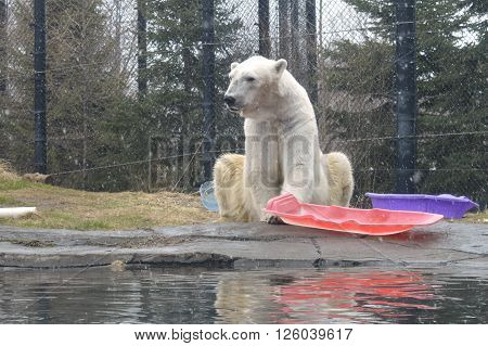 A large adult male polar bear during the winter