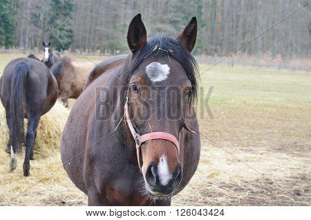 pregnant mare on pasture South Bohemia Czech Republic