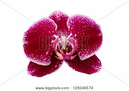 Red orchid isolated isolated on white background