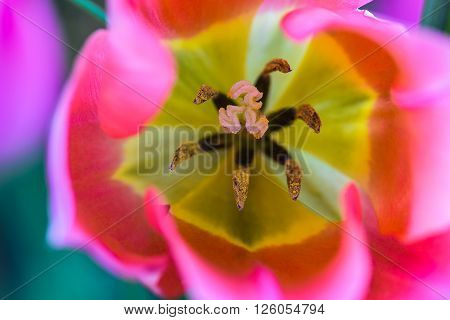Looking down into the bulb of a pink Tulip flower with yellow center and pollen on anthers.