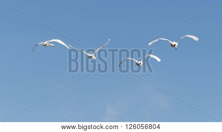 Four mute swans flying in a formation rear view