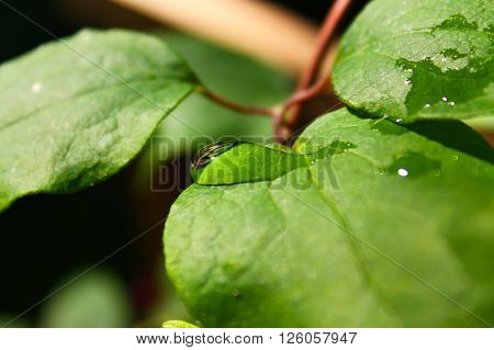 Water drop on a leaf. Peaceful picture. Water drop slides down to the edge of leaf