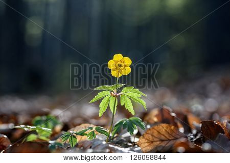 The yellow anemone or buttercup anemone. Yellow wood anemone in forest, close up.