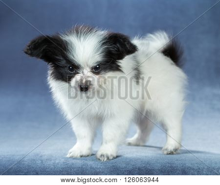 Cute little puppy Papillon standing on a blue background