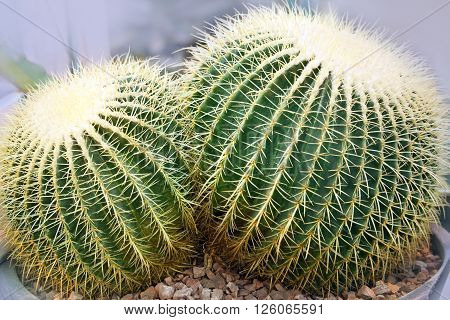 Golden Barrel Cactus. Echinocactus grusonii in garden
