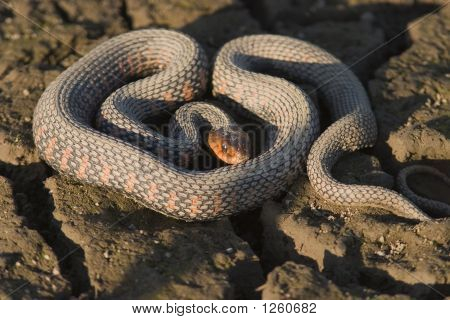 Coiled Up Garter Snake