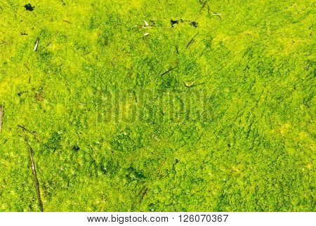 Light green duckweed on dirty lake water for background