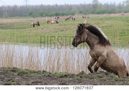 Konik horse climbing out of a ditch in Oostvaardersplassen, The Netherlands