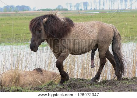 Konik horse walking in an aroused state