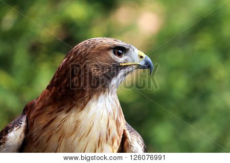 Close Up Detailed Photograph Of A Red-tailed Hawk