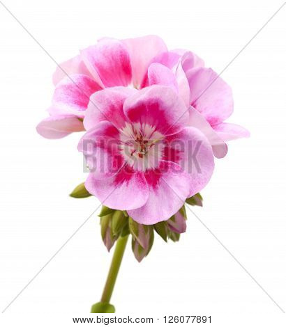 Magenta Geranium Isolated
