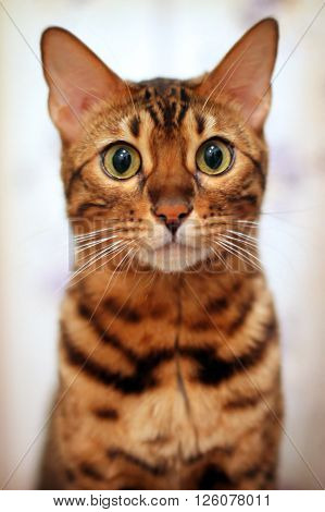 Bengal domestic cat with a sharp focus