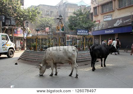 KOLKATA, INDIA - NOVEMBER 28, 2012: Cows roam the streets of Kolkata, West Bengal, India, on November 28, 2012.
