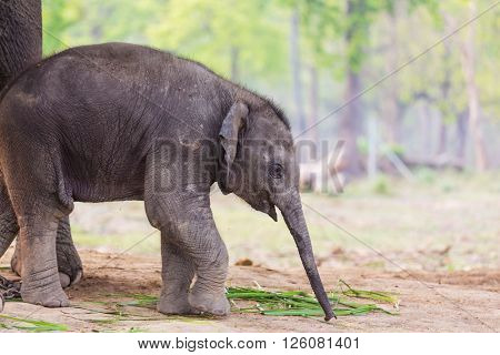 Baby elephant in Chitvan National Park, Nepal