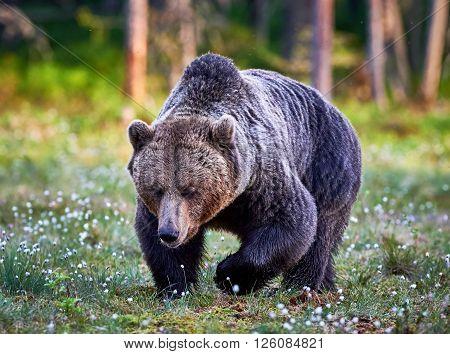 Big male brown bear walking in the finnish taiga