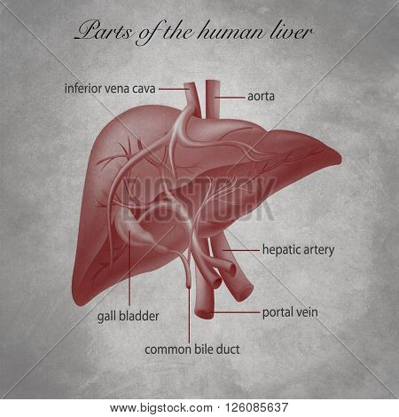 old educational document of general medicine, Parts of the human liver