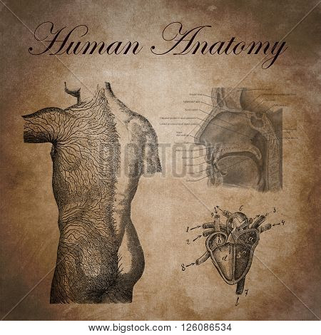 human anatomy study of the nervous device heart and respiratory system, old educational document of general medicine